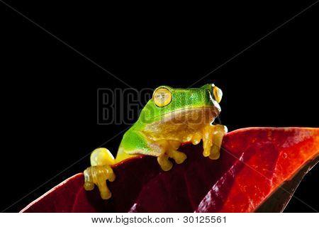 Little green tree frog sitting on red leaf on black background