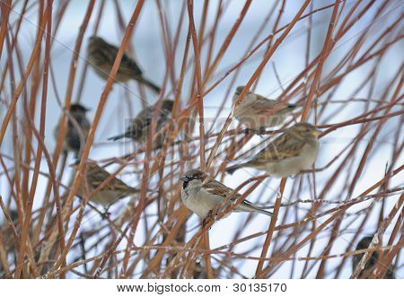 Flock Of Sparrows Sitting On Bush