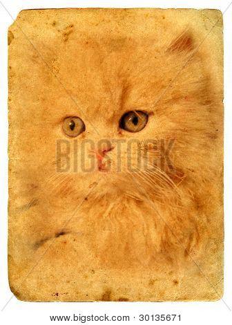 Expressive Cat Eyes. Old Postcard