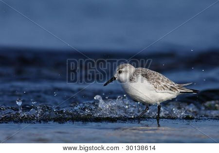 The Sanderling (Calidris alba)