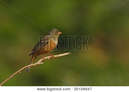 An Ortolan Bunting on the tree branch