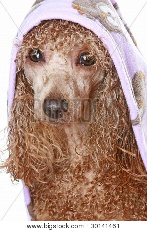 Poodle dog After A Bath