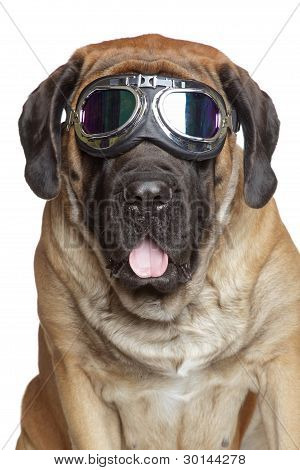English Mastiff In Vintage Motorcycle Goggles