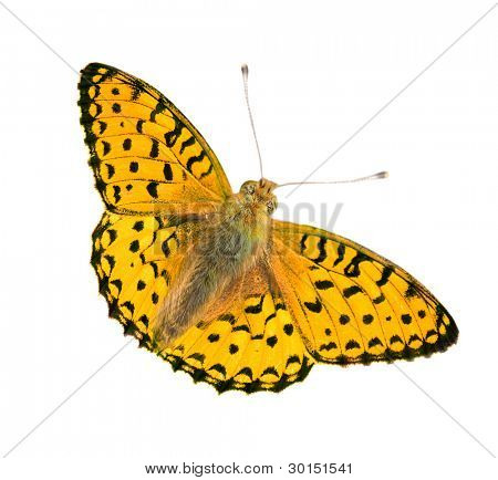 beautiful yellow and black butterfly isolated on white background