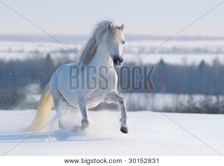 Gray Welsh pony galloping on snow hill