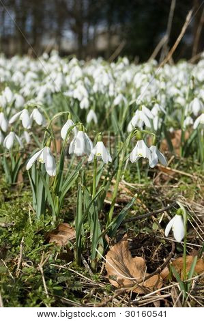 Snowdrops in Spring