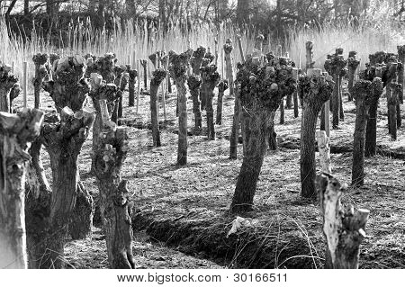 salix plantation
