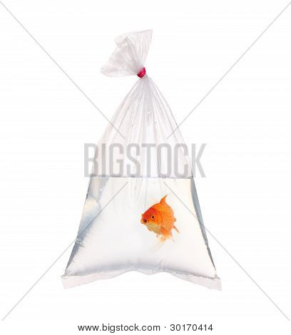 Single old fish in the water packet