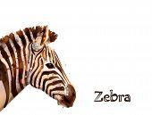 Zebra Isolated On White Background Vector Watercolor. Wildlife Safari Animals poster