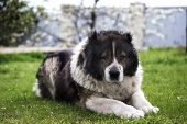 Adult Caucasian Shepherd Dog In The Yard. Caucasian Sheepdog In Sprig Time. Fluffy Caucasian Shepher poster