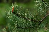 Pine Branch With Raindrops On Green Background. Christmas Pine Tree, Fir. Natural Beauty Landscape,  poster