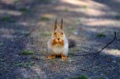 Beautiful Photo Of A Furry Squirrel In A Fir Spring Forest poster