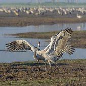 Dancing Cranes. Common Crane In Birds Natural Habitats. Bird Watching In Hula Valley In Nature Reser poster