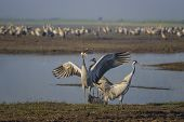 Dancing Cranes. Common Crane In Birds Natural Habitats. Bird Watching In Hula Valley In Northern Isr poster