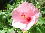 Light Pink Hibiscus poster