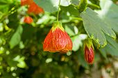 Flower Of A Room Maple (other Names -  Indian Mallow,  Velvetleaf, Parlor Maple, Flowering Maple, La poster