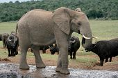 Постер, плакат: Африканский слон с буйволов