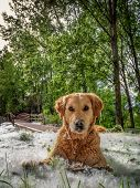 Nice Portrait Of Golden Retriever Dog Sitting In The Park With Grass Full Of Fluffy Poplar. poster