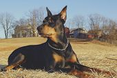 stock photo of doberman pinscher  - A Doberman Pinscher sitting in a field near a farm looking over a field - JPG