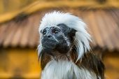 The Face Of A Cotton Top Tamarin In Closeup, Tropical Critically Endangered Monkey From Colombia poster