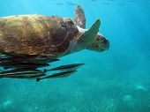picture of chums  - A sea turtle loitering near the lobstermen - JPG
