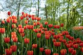 Field, Flower Bed With Pink Tulips In The Garden. Beautiful Tulips Flower In Field At Winter Or Spri poster