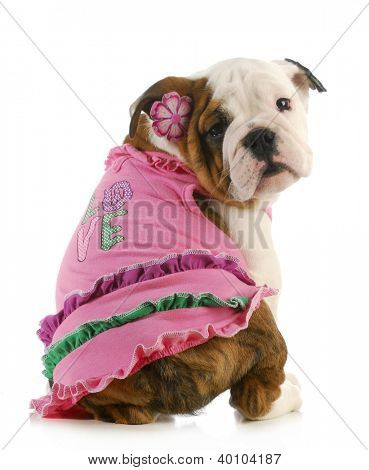 puppy love - english bulldog wearing pink shirt that says love on white background
