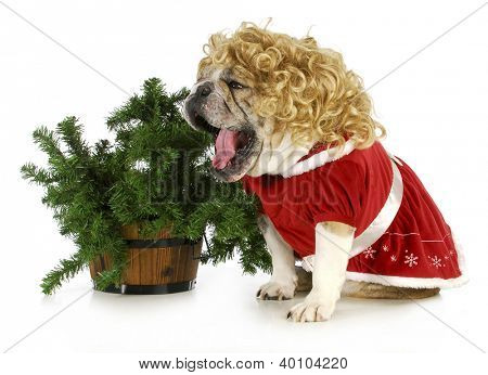christmas dog - english bulldog wearing blonde wig and santa dress sitting beside christmas tree on white background