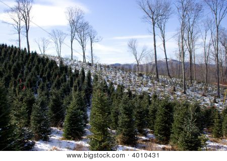 Rows Of Christmas Trees
