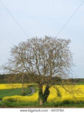 Single Tree In A Yellow Bittercress Fields