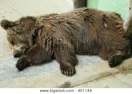 Brown Bear Sleeping