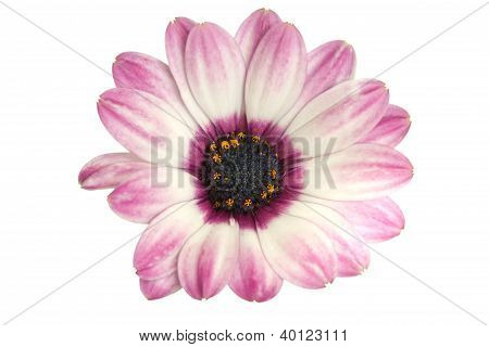 African Or Cape Daisy (osteospermum)  Close-up