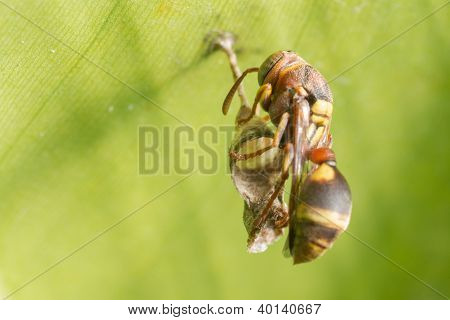 A Hornet Building It's Nest