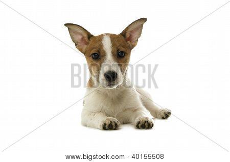 Jack Russell Terrier puesto aislado sobre un fondo blanco