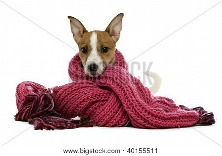 Jack Russell Terrier Wrapped In A Pink Scarf Isolated On A White Background