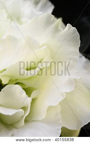 Close Up Of White Azalea Flower
