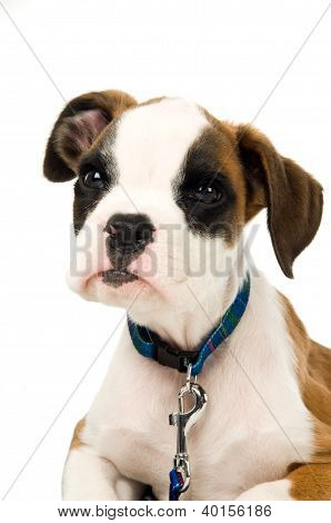 Boxer Puppy Isolated On A White Background