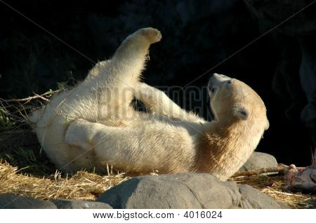 Stretching Polar Bear
