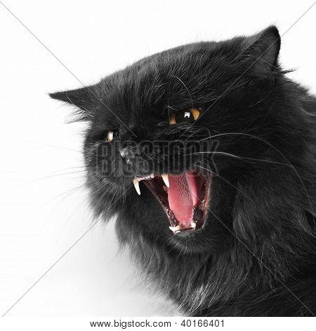 Gato irritado de persa preto sobre fundo branco