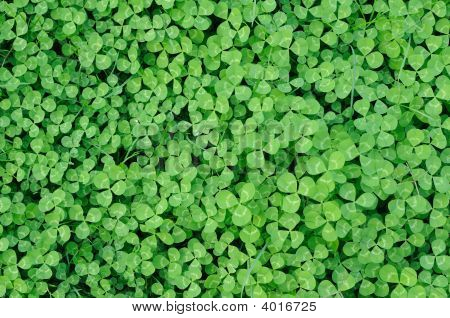 Multitude Of Clover