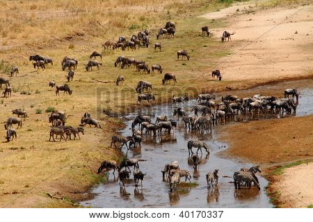 Wildebeest And Zebra Gather At Drying River