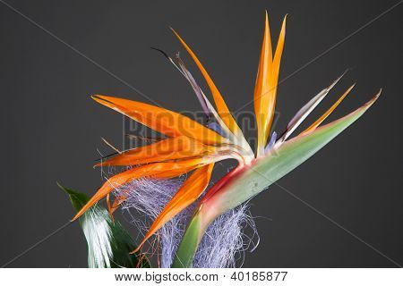 bird of paradise flower (strelitzia) on grey background
