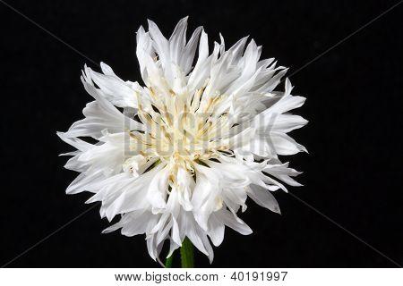 Blooming white corn flower (Centaurea cyanus)