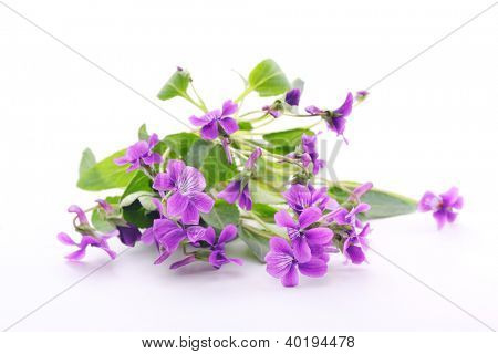 Wood violets flowers on white background