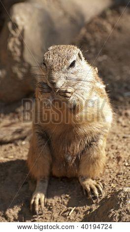Esquilo à terra de cabo