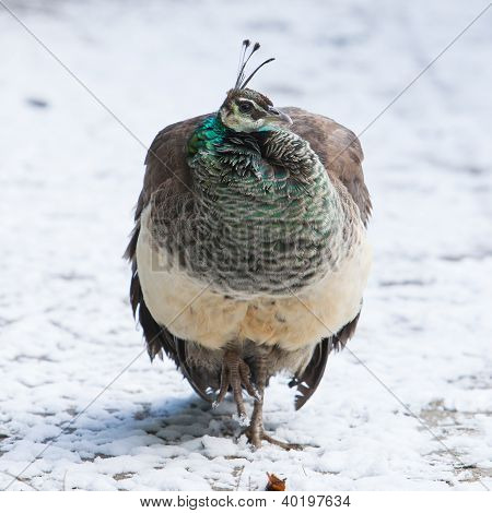 Female Peacock Standing In The Snow