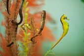 picture of seahorses  - Commercially farmed Sea Horses in aquarium tanks with male Seahorses with brood pouch full of eggs - JPG
