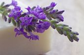 Fresh Lavender On A Bar Of Soap