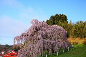 stock photo of fukushima  - Cherry tree Nema is MiharuTakizakura Fukushima Japan - JPG