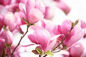 pic of magnolia  - pink magnolia flower on white background - JPG